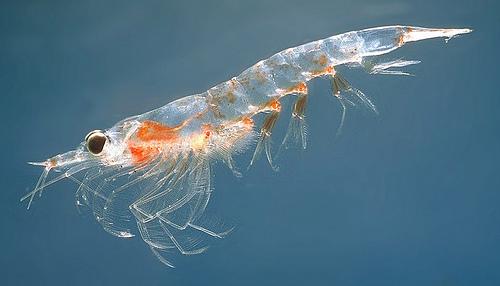 shrimp_2
